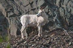 Dall Sheep Lamb Stock Image