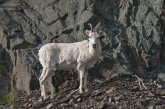 Dall Sheep Lamb Royalty Free Stock Images