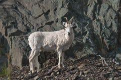 Dall Sheep Lamb Royalty Free Stock Images