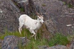 Dall Sheep Lamb Climbing royalty free stock images