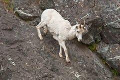 Dall Sheep Lamb Climbing Stock Photo
