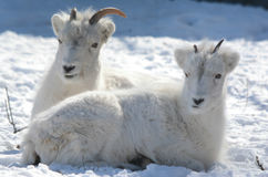 Dall Sheep Laying Down In Field Of Snow. Expressive winter closeup of a Dall sheep ewe and her lamb, laying down together in a bright snow blanketed field royalty free stock photography