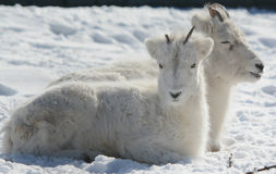 Dall Sheep Laying Down On Snow Covered Ground Royalty Free Stock Photos