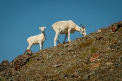 Dall sheep mother with baby in Kluane NP, Yukon, Canada. Dall sheep mother with baby in Kluane National Park and reserve, Yukon territory, Canada royalty free stock photos