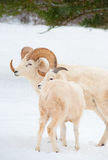 Dall Sheep in natural habitat Stock Image