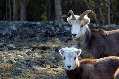 Two Dall sheep Stock Images