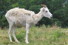 Dall sheep Royalty Free Stock Photography
