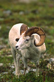 Dall Sheep Ram Stock Image