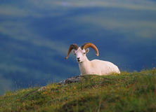 Dall Sheep Ram royalty free stock photo