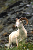 Dall Sheep Ram Stock Photography