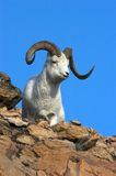 Dall Sheep Ram against a Blue Sky Royalty Free Stock Image