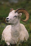 Dall Sheep Ram Bedded stock photos