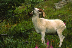 Dall Sheep Ram Eating. A dall sheep ram eating leaves off a high alpine bush Royalty Free Stock Images
