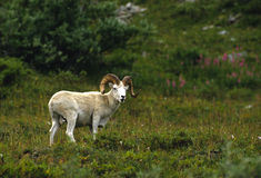 Dall Sheep Ram in Meadow Stock Photo