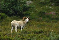 Dall Sheep Ram in Meadow Stock Photo