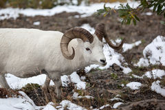Dall sheep ram. (Ovis dalli) in Denali National Park, Alaska royalty free stock photography