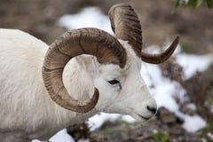 Dall sheep ram. (Ovis dalli) in Denali National Park, Alaska (Ovis dalli) in Denali National Park, Alaska royalty free stock photos