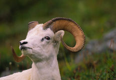 Dall Sheep Ram Portrait Stock Photos