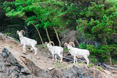 Dall Sheep Ram's Royalty Free Stock Photography