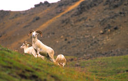 Dall Sheep Ram Standing Guard Royalty Free Stock Photos