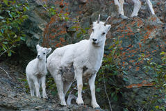 Dall Sheep Ram and Young Female Dall Sheep Royalty Free Stock Photos