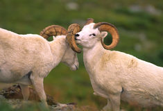 Dall Sheep Rams stock photography