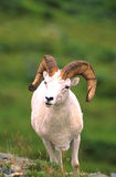 Dall Sheep Rams Royalty Free Stock Photography