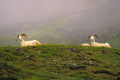 Dall Sheep Rams Bedded royalty free stock image