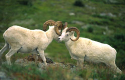Dall Sheep Rams Displaying Stock Image
