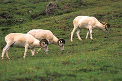 Dall Sheep Rams Feeding Royalty Free Stock Images