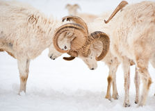 Dall Sheep Rams Lock Horns Stock Photos