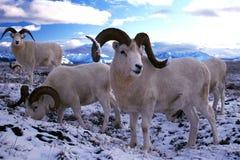 Dall sheep rams in snow (Ovis dalli), Alaska, Denali National Pa royalty free stock photos