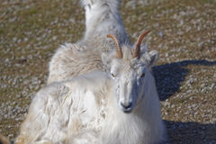 Dall sheep Royalty Free Stock Photos