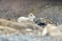 Dall Sheep. A dall sheep sitting on rocks on mountain side Royalty Free Stock Photo