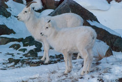 Dall Sheep Royalty Free Stock Photo