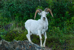 Dall Sheep Stock Images