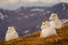 Dall sheeps in Denali NP, Alaska, US. Protected Dall sheeps in backcountry of Denali NP, Alaska, US Stock Photo