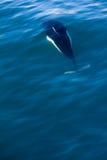 Dall-Tümmler, der unter Wasser schwimmt lizenzfreie stockfotos