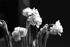 Dalla composizione del giorno del ` s della madre dei narcissuses bianchi come la neve di Terry contro luce, è bianco nero- Immagini Stock Libere da Diritti