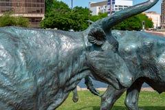 Dallas, Tejas - 7 de mayo de 2018: Vacas del vaquero y del fonolocalizador de bocinas grandes con ganado en el fondo, como parte  Imagen de archivo