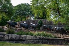 Dallas, Tejas - 7 de mayo de 2018: Vacas del vaquero y del fonolocalizador de bocinas grandes con ganado en el fondo, como parte  Foto de archivo libre de regalías