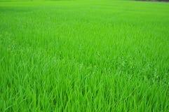 Dalle risaie verdeggianti degli agricoltori Fotografia Stock Libera da Diritti