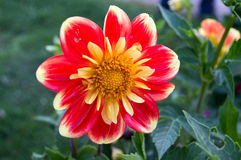 Dahlia pooh Stock Photography