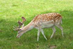 Dallow deer / Dama dama Royalty Free Stock Photography