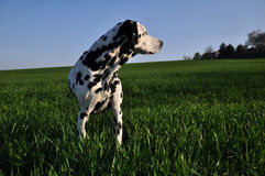 Dalmaitn standing in a field Royalty Free Stock Photos