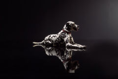 Dalmata on black background Stock Photography