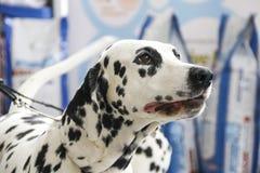 Dalmata del cane Fotografie Stock