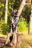 Dalmata in foresta fotografia stock