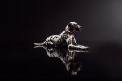 Dalmata su fondo nero Fotografia Stock