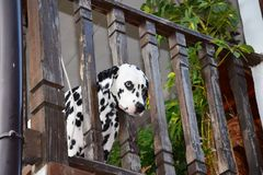 Dalmata sul balcone Fotografia Stock Libera da Diritti